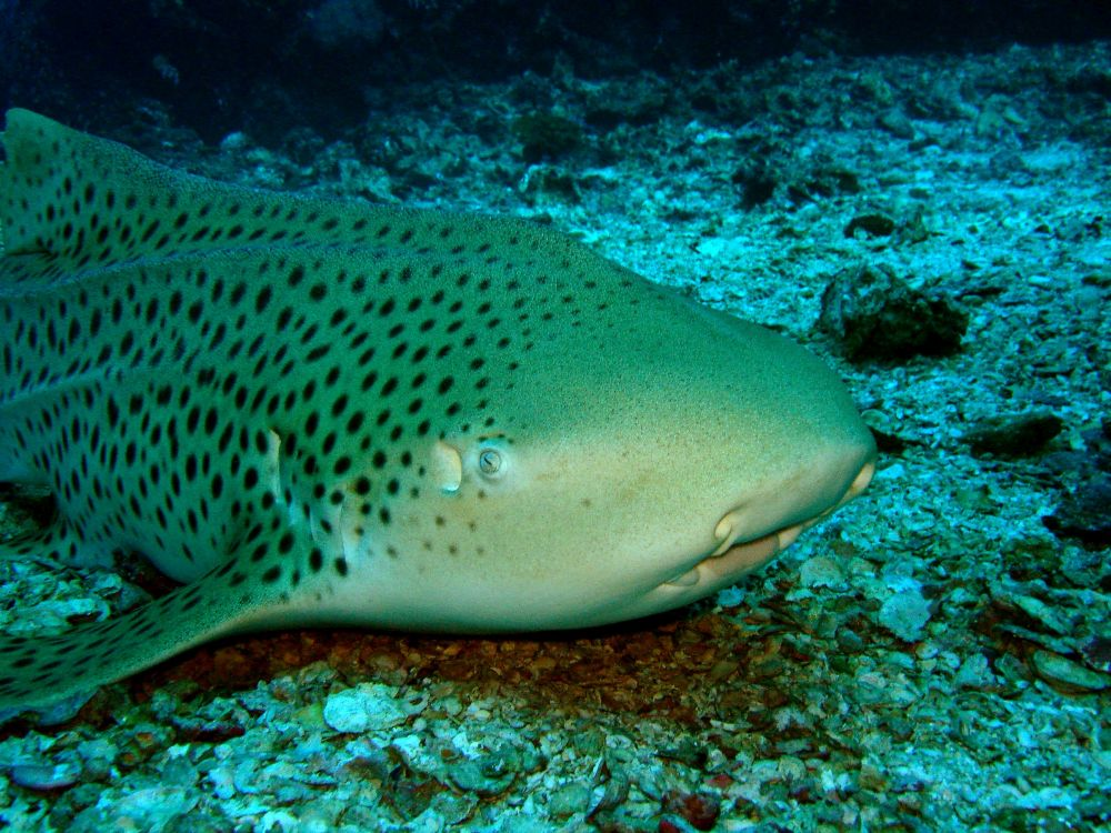 Shark Point Phi Phi/ Garang Haeng